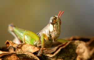 Bush Grasshopper